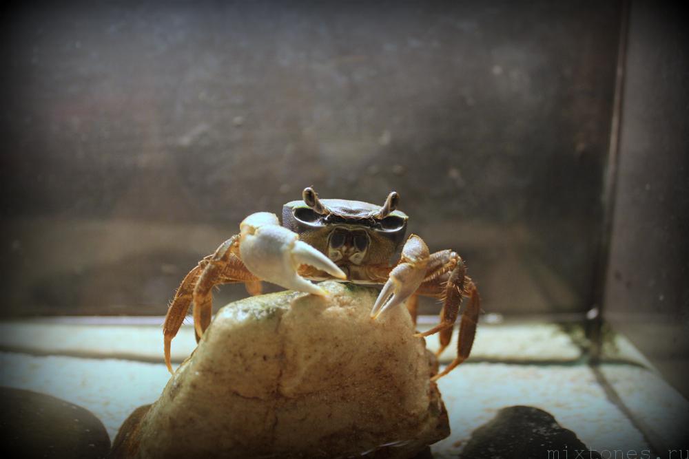 aquaria_crab